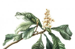 Loquat-Flower - Botanical Art Workshop with Jessie Rose Ford at Byron Community Centre