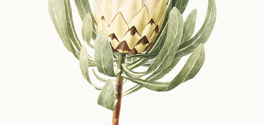 White-Protea - Botanical Art Workshop with Jessie Rose Ford